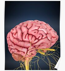 Human brain with nerves. Poster