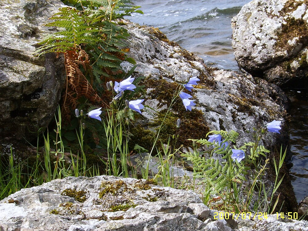 Harebells at Ennerdale by johnbb