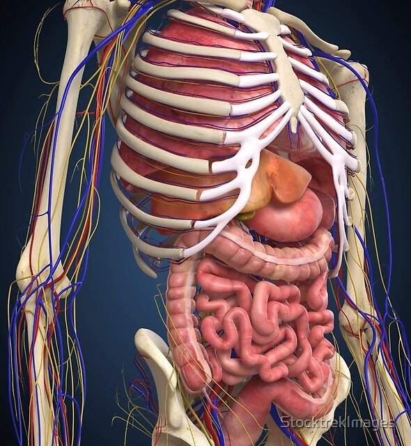 Human midsection with internal organs. by StocktrekImages