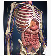 Human midsection with internal organs. Poster