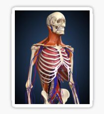 Human upper body showing bones, lungs and circulatory system. Sticker