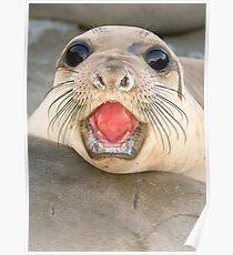 A female Elephant seal Mirounga angustirostris Poster
