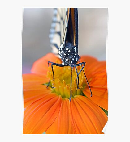 Monarch Butterfly, front view Poster