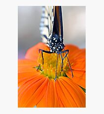 Monarch Butterfly, front view Photographic Print
