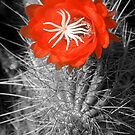Red Cactus flower blossom by Eyal Nahmias