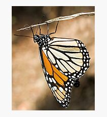 Monarch Butterfly closeup on a twig Photographic Print