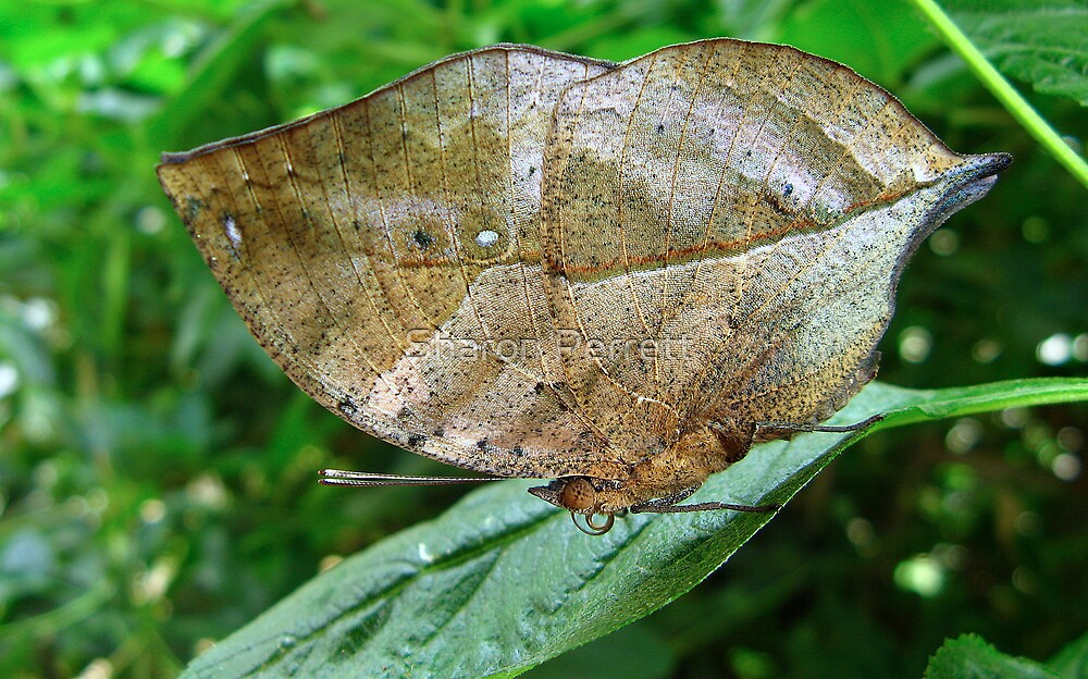 Indian Leaf Butterfly - Closed wings by Sharon Perrett
