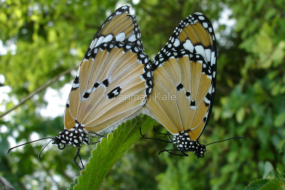 Butterflies in love by Tanmay Kale