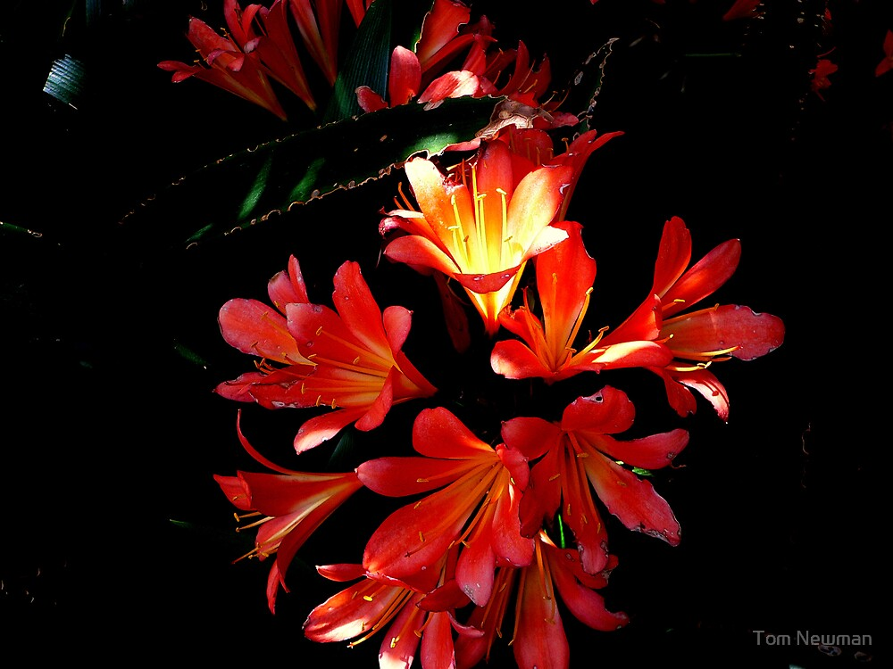 Orange Clivia Miniatas by Tom Newman