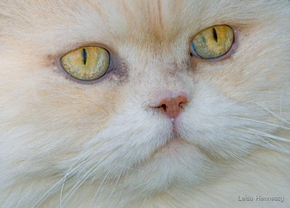 Persian Cat by Leisa  Hennessy