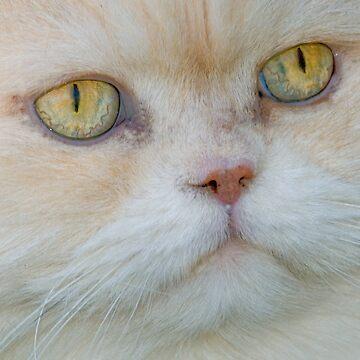 Persian Cat by NaturesPixel