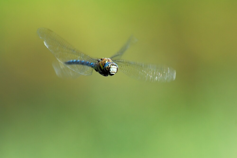 Aeshna mixta in flight by pete49027
