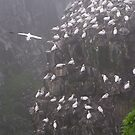 Gannets Nesting at Cape St. Mary, Newfoundland by Betty Mackey
