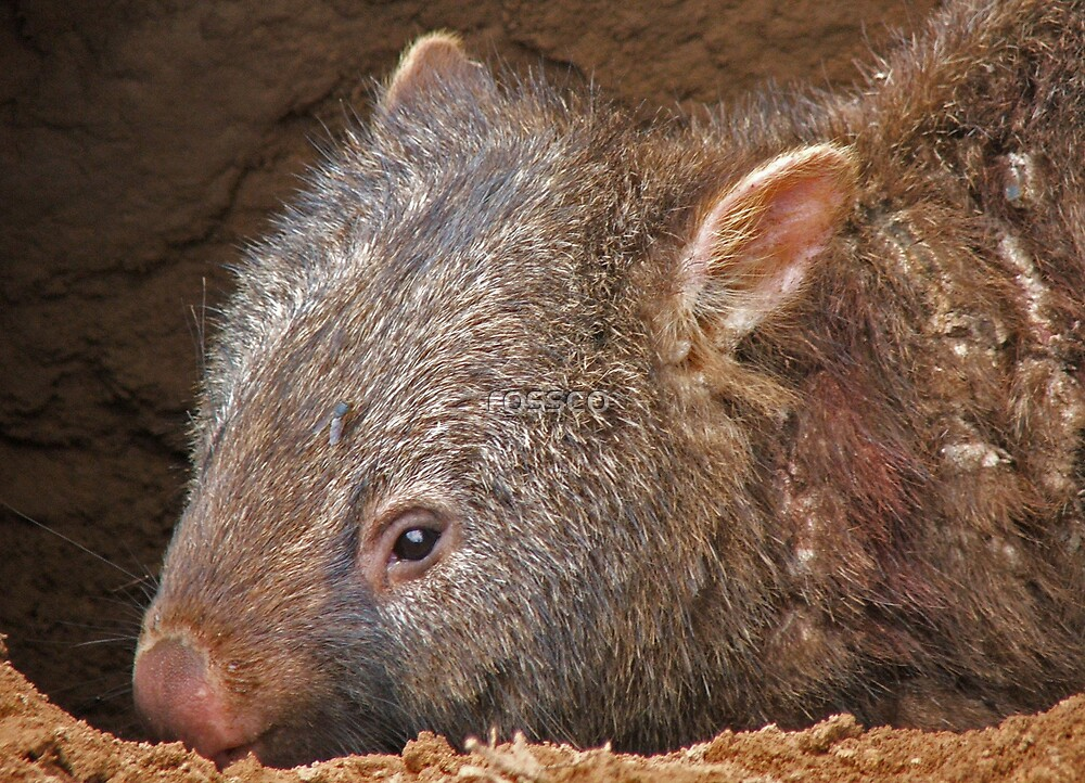 The Wombat by rossco
