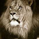 portrait of a big african male lion by Enjoylife