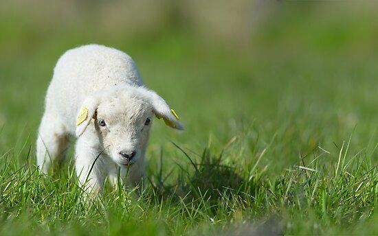cute lamb by Enjoylife