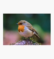 Robin Red Breast Picture Photographic Print