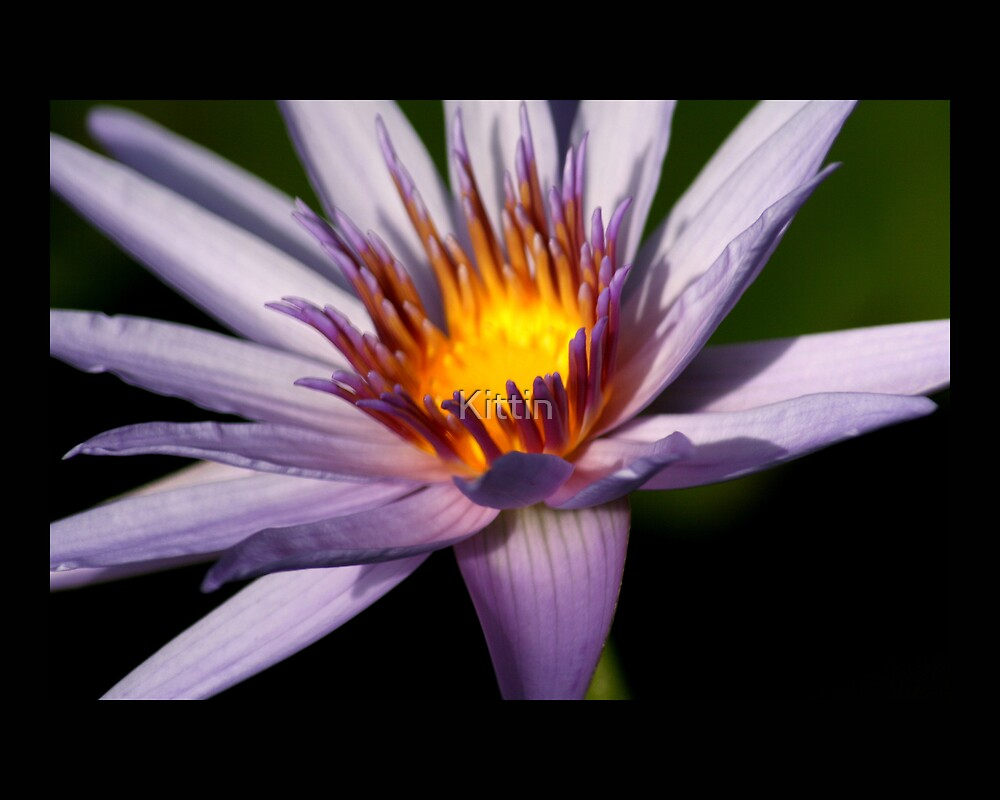 water lily 03 by Kittin