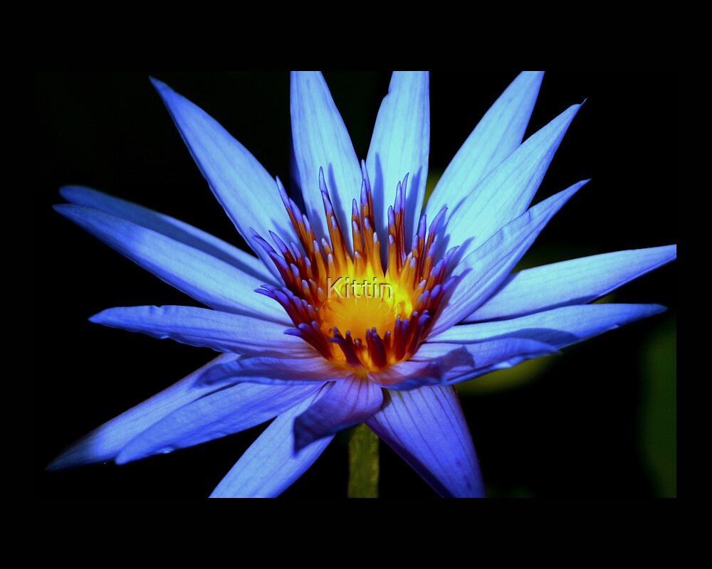 water lily 04 by Kittin