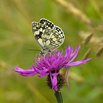 Marbled White Butterfly by LindaMarques