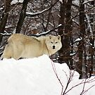 Arctic Wolf Pondering by vette