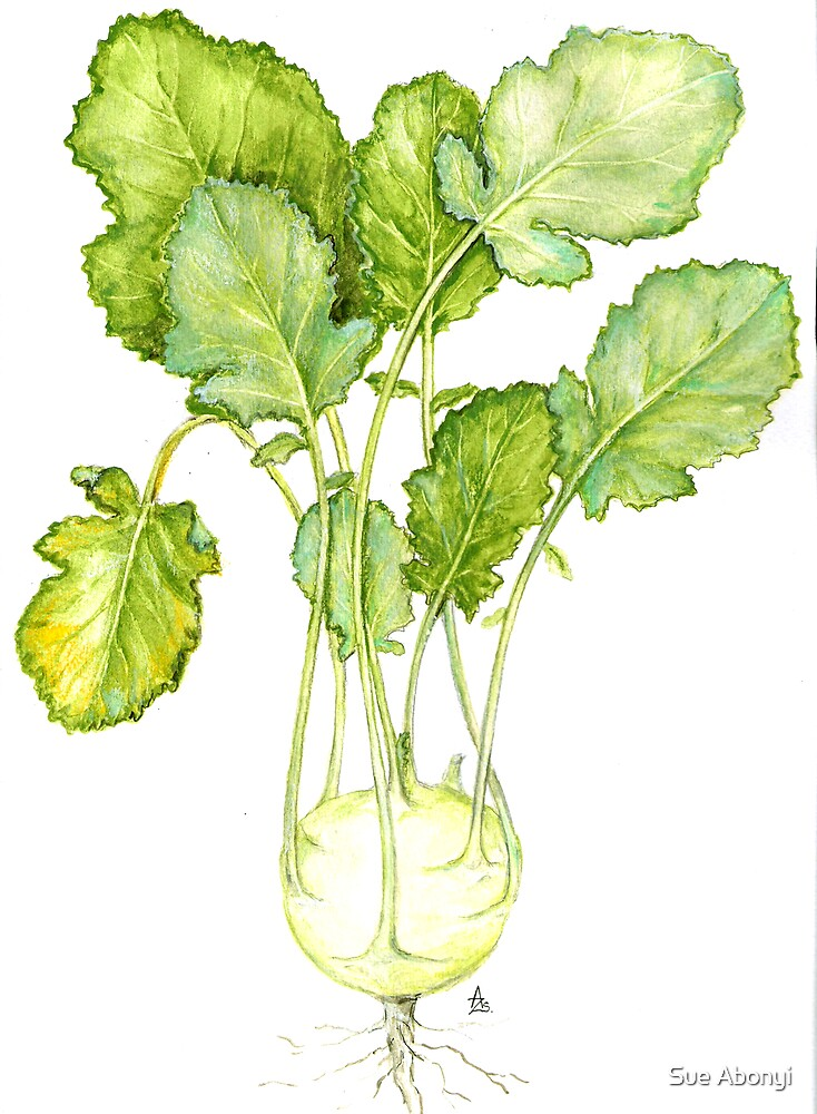 Kohlrabi - Brassica oleracea gongyloides by Sue Abonyi