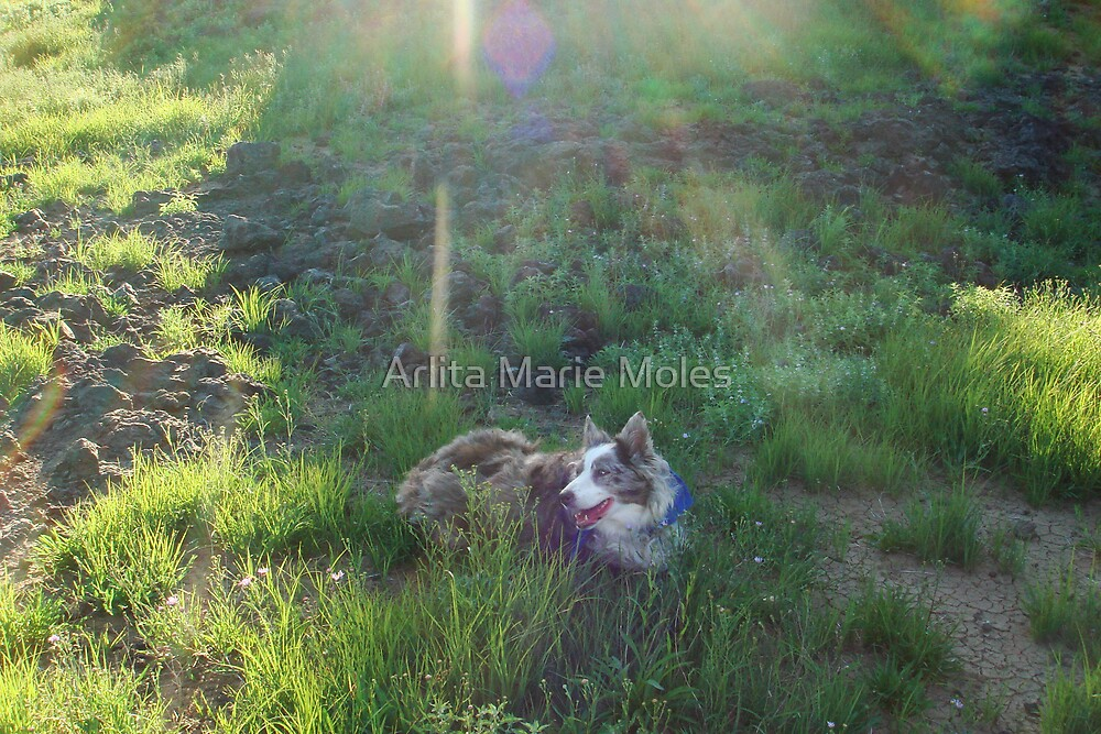 Australian Shepard Dog 1 by Arlita Marie Moles