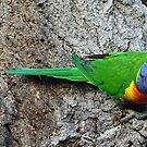 Rainbow Lorikeet by Steven Guy