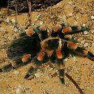 Tarantula  by Macky
