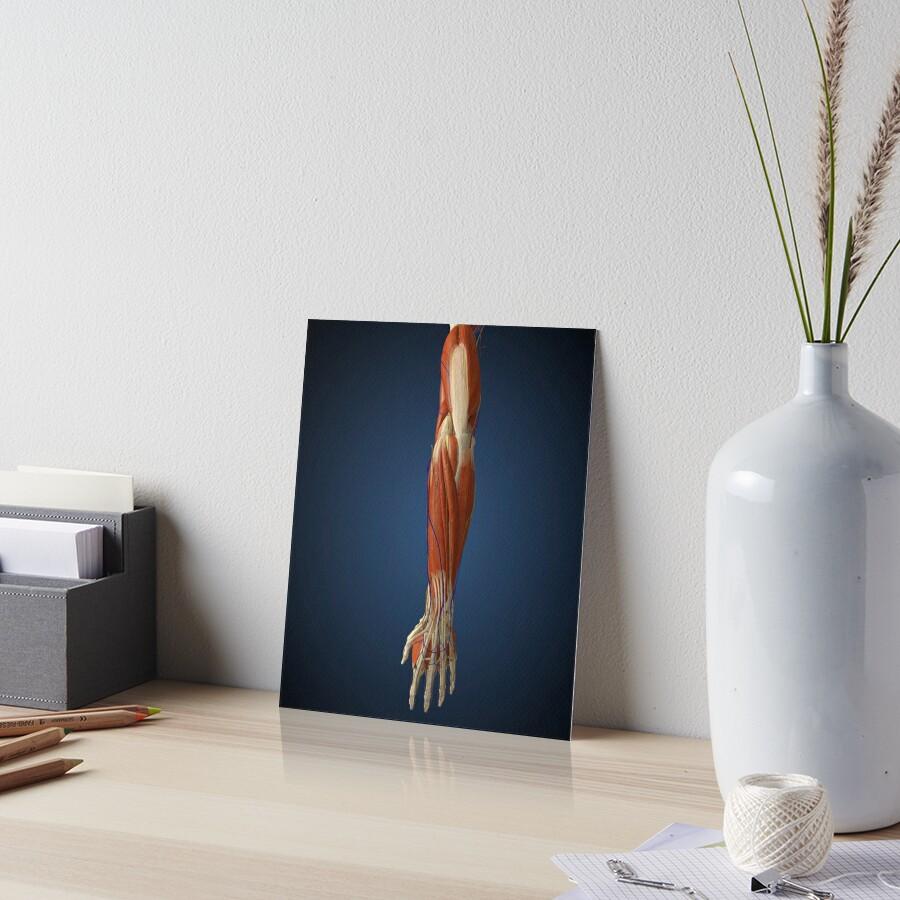 Láminas de exposición «Brazo humano con hueso, músculos y nervios ...