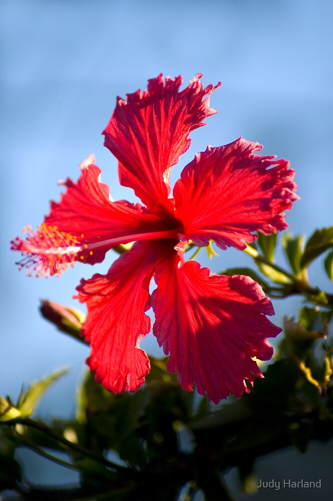 Hibiscus by Judy Harland