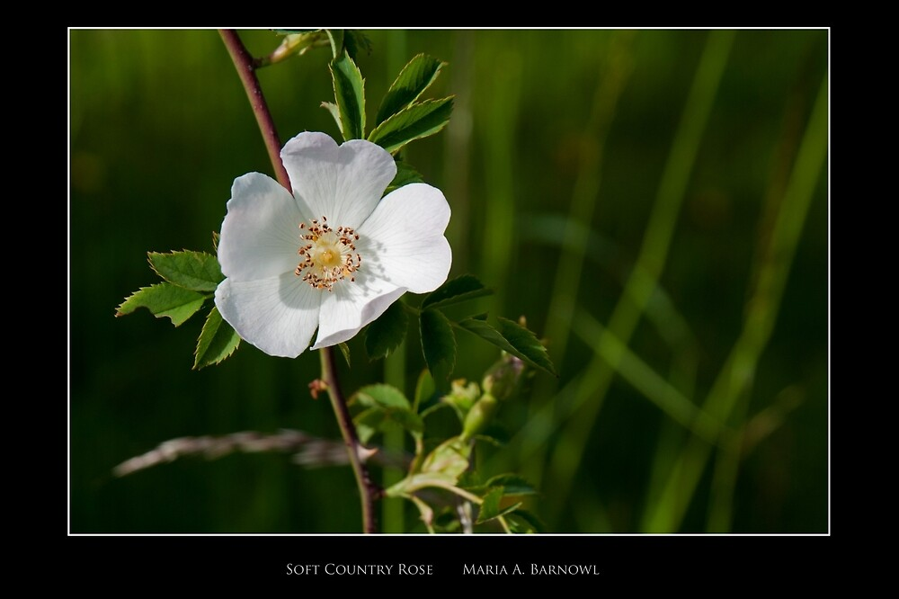 Soft Country Rose - Cool Stuff by Maria A. Barnowl