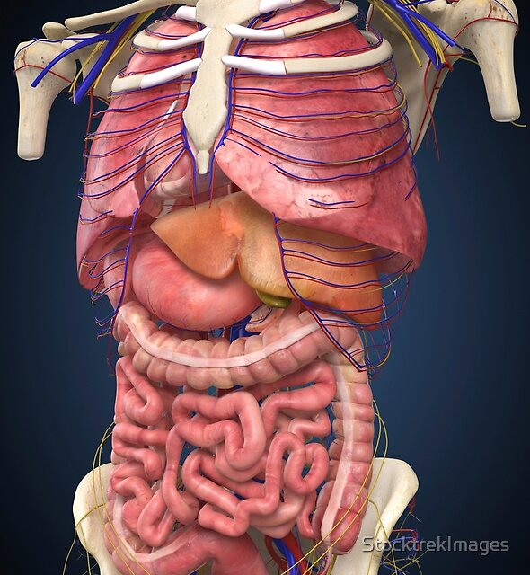 Midsection view showing internal organs of human body. by StocktrekImages