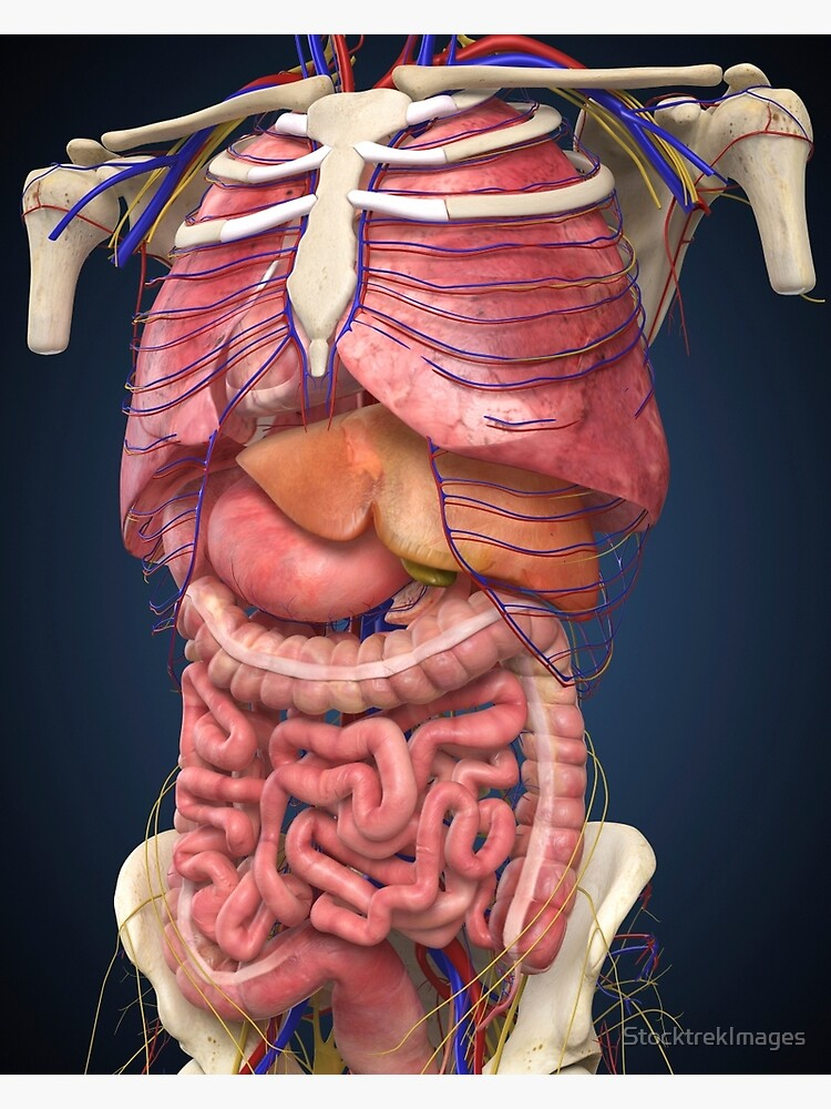 Internal Organ Diagram Back View.Midsection View Showing Internal Organs Of Human Body Canvas Print