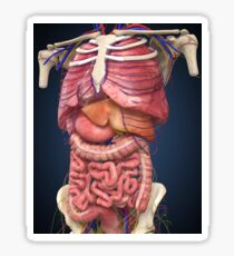 Midsection view showing internal organs of human body. Sticker