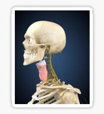 Human skeleton with nervous system and larynx organ of neck. Sticker