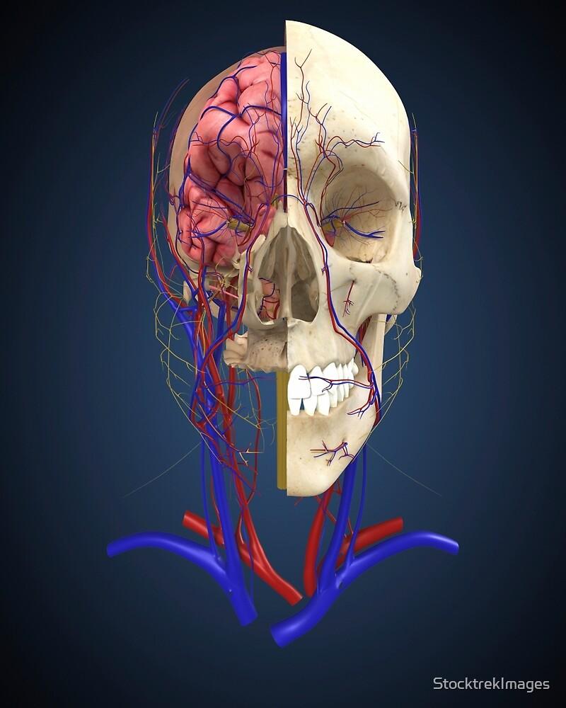 Cráneo humano que muestra el cerebro y el sistema circulatorio.» de ...