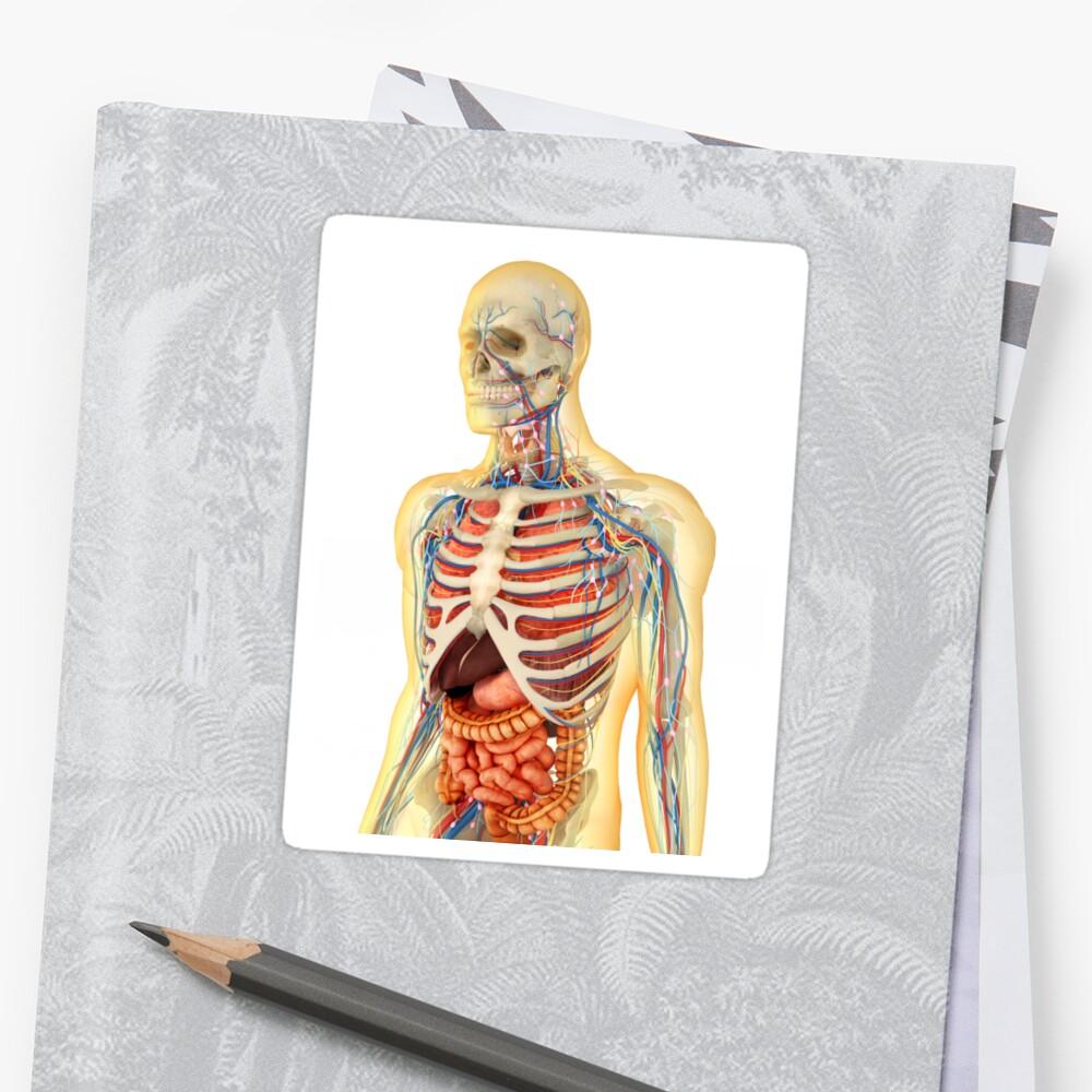 Pegatinas «Cuerpo humano con órganos internos, sistema nervioso ...