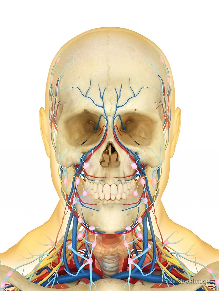 Human face and neck area with nervous system, lymphatic system and ...