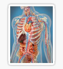Human body showing heart and main circulatory system position. Sticker