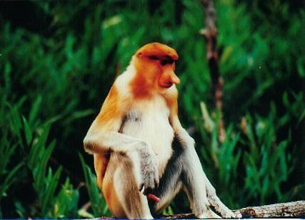 proboscis monkey by joancaroline