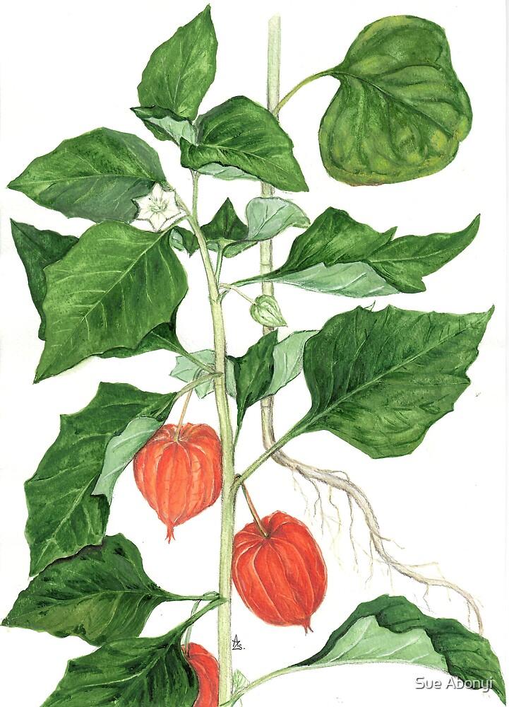 Bladder Cherry - Physalis alkekengi by Sue Abonyi