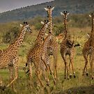 Giraffes on the Run by Shari Galiardi