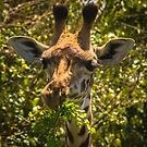 Giraffe Lunch by Shari Galiardi