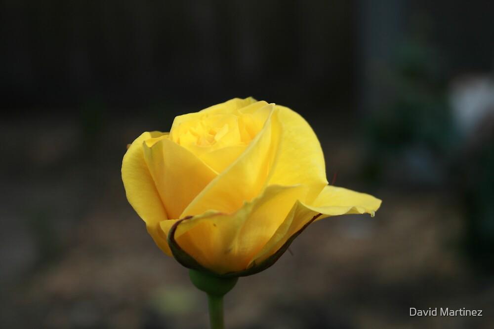 The rose by David Martinez