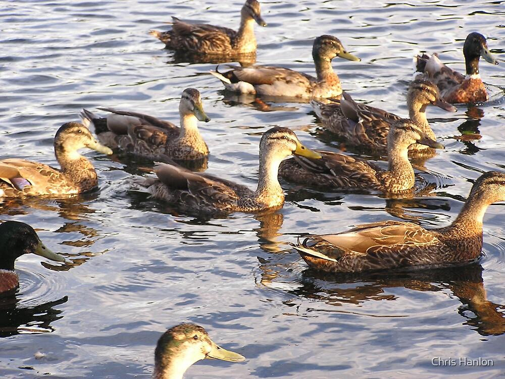 Ducks at Sunset by Chris Hanlon