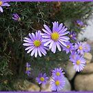 Cutleaf daisy.  _Brachyscome multifida_ by Northcote Community  Gardens