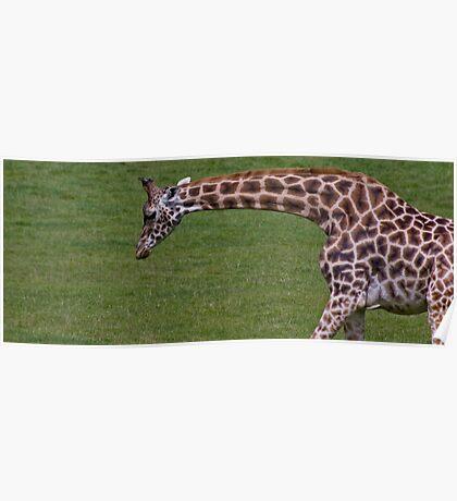 Wide Screen Giraffe Poster