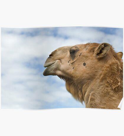 Longleat Camel Poster