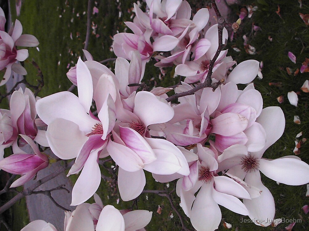 Magnolia Blossoms by Jessica-June Boehm